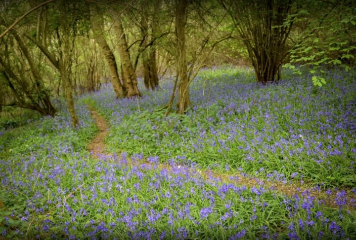 Bluebells at Brampton Woods