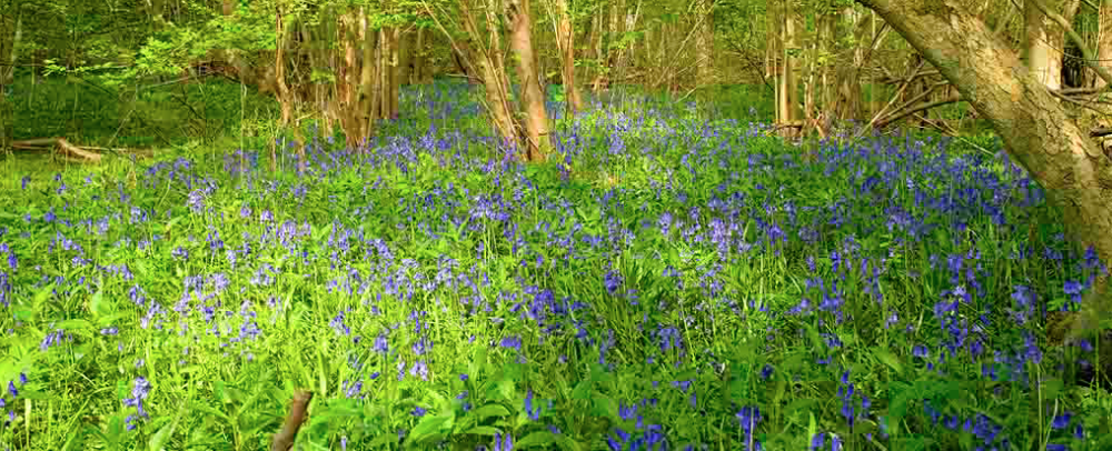 Eversden Woods Bluebells