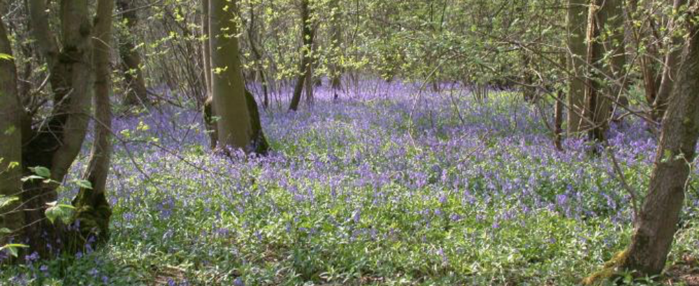 Hardwick Wood Bluebells