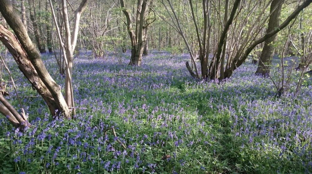 Bluebells at Waresley and Gransden woods