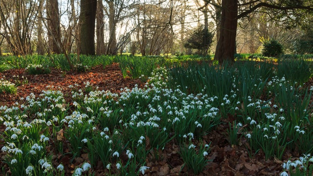 snowdrops at Ickworth in spring