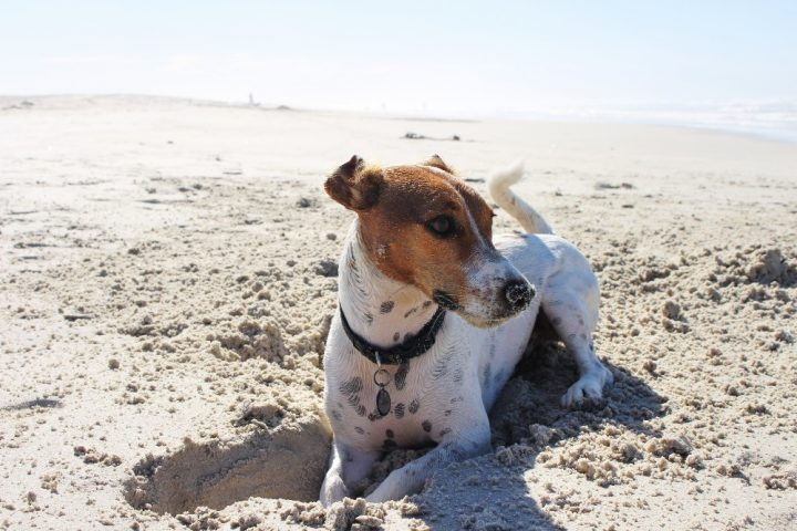 jack Russell lying on beach